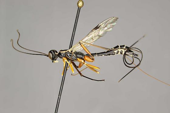 Podoschistus - Podoschistus vittifrons - female