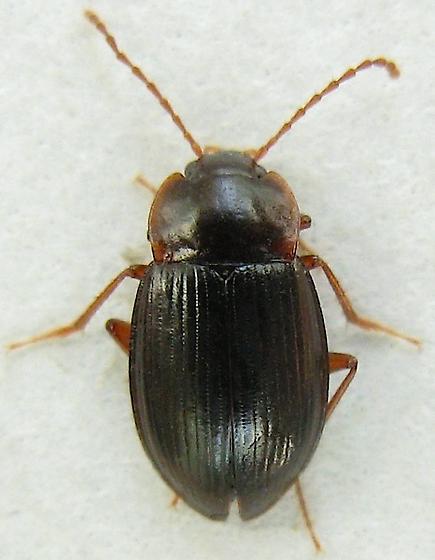 Beetle - Apteroloma tahoecum