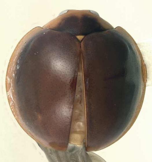 Cryptognatha nodiceps Marshall - Cryptognatha nodiceps