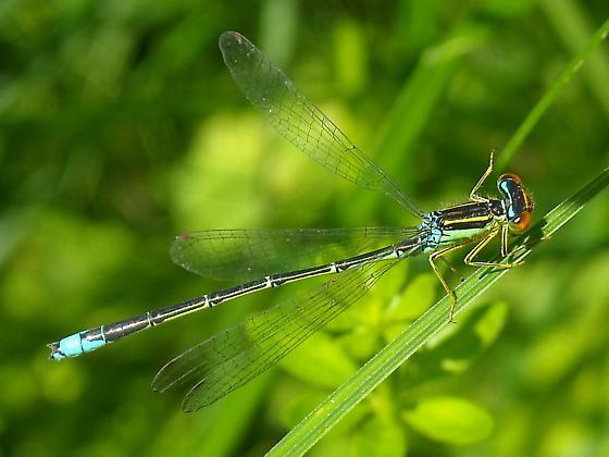 Enallagma antennatum - male