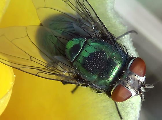 Green Blow Fly Close Ups (dorsal) - Lucilia mexicana - female