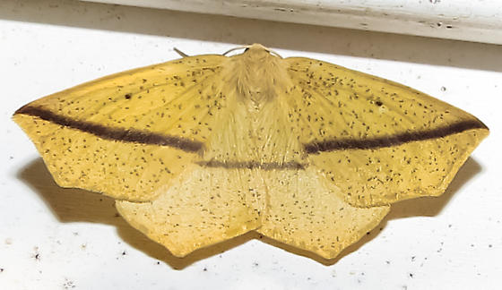 Yellow Slant-Line - Hodges#6963 (Tetracis crocallata) - Tetracis crocallata