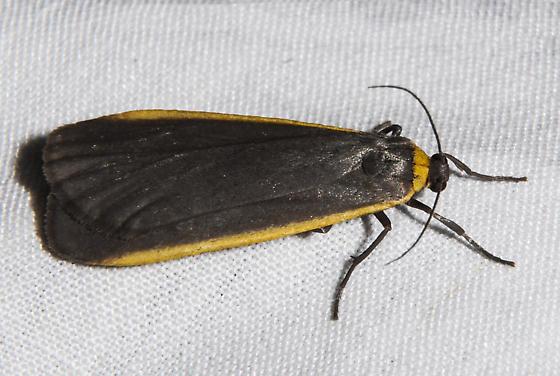 Bicolored Lichen Moth - Manulea bicolor