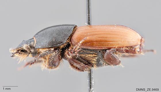 Aphodius erraticus lateral - Aphodius erraticus
