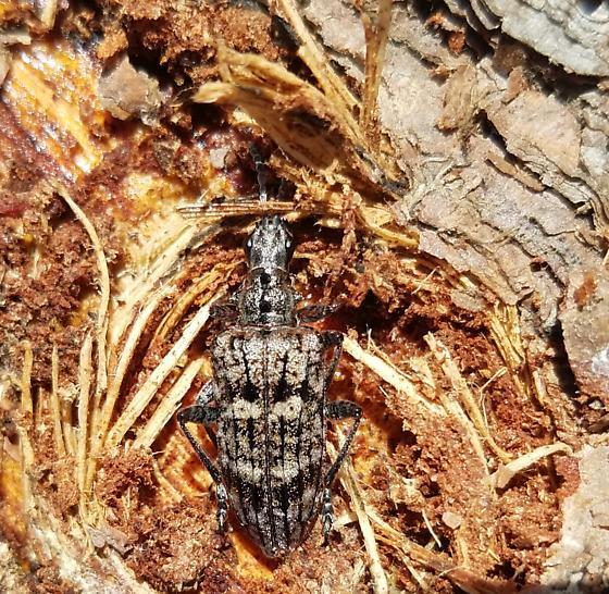 Bug in tree bark - Rhagium inquisitor