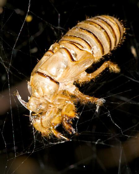 Bug - Neocicada hieroglyphica