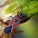 ID for a red and black bug? - Neacoryphus bicrucis