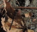 Dragonfly 3790 - Sympetrum ambiguum