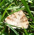 Noctui moth - Caenurgina