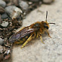Unknown Bee - Andrena - female
