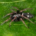 Unknown Spider - Sergiolus columbianus