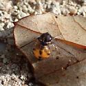 wet bug - Acrocera
