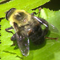 Fly - Mallota posticata