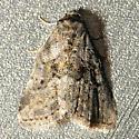 Memorial Moth - Hyperstrotia secta