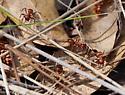 Topoff's slavemaker ant - Polyergus topoffi - female