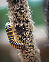 Black and Yellow Centipede