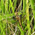Widow Skimmer - Libellula luctuosa - female