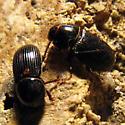 Mini-Beetle - Ataenius stephani
