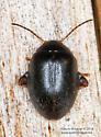 Coleoptera - Scirtes tibialis