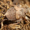 Hopper nymph (or not) - Orgerius