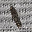 which Tortricidae sp.? - Sinoe