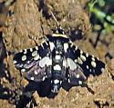 Mournful Thyris - Pseudothyris sepulchralis