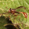 At last! - Physocephala burgessi - male