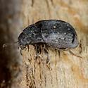 Unknown Beetle - Byrrhus kirbyi
