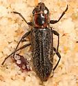 Longhorn Beetle (deceased)  - Stenosphenus notatus