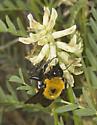 Large Bumblebees on Astragalus at Mono Lake (2) - Bombus nevadensis
