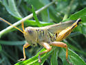 Grasshopper, please ID - Melanoplus differentialis - male