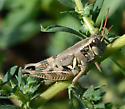 Lakin Grasshopper - Melanoplus lakinus - female