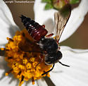 Bee - Coelioxys slossoni - male