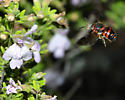 Red and black bee - Anthidiellum perplexum