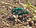 Six-spotted Tiger Beetles Mating (Cicindela sexguttata) - Cicindela sexguttata - male - female