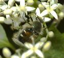 Flower Scarab - Trichiotinus viridans