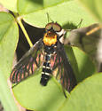 Rhagionidae, Golden-backed Snipe Fly - Chrysopilus thoracicus - male