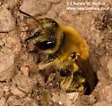 Andrenid? - Andrena - female