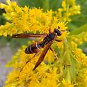 Red and yellow wasp - suspected Polistes fuscatus - Polistes fuscatus