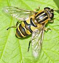 Syrphidae Genus Helophilus - Helophilus