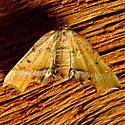 Fervid Plagodis Moth - Plagodis fervidaria