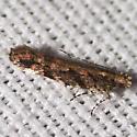 Aristotelia Moth - Hodges #1762 - Aristotelia rubidella
