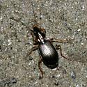 ground beetle - Agonum extensicolle