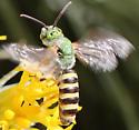 Striped Sweat Bee (Genus Agapostemon )? - Agapostemon
