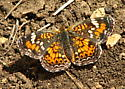 Here's the other one - Phyciodes phaon