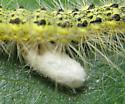 Cat parasitoid - Cotesia
