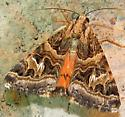 moth - Drasteria mirifica
