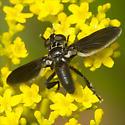 Genus Trichopoda - Feather-legged Flies ID Please - Trichopoda lanipes