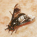 Tabanidae? - Chrysops proclivis - female