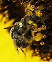 unknown bee - Pseudopanurgus - male - female
